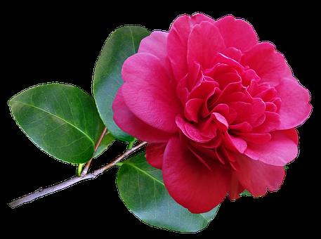 Camellia, Flower, Red Flower, Plant, Stem, Decoration