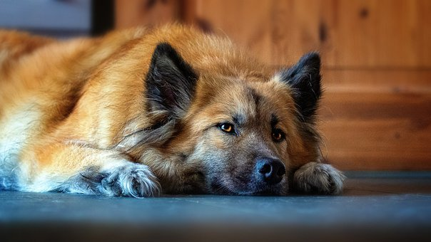 Dog, Canine, Domestic, Breed, Animal, Pet, Relaxed