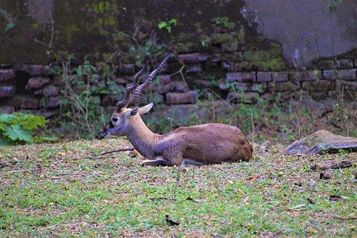 Deer, Antlers, Hoofed Animal, Ruminant, Cervidae