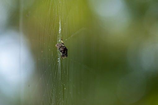 Spider, Web, Insect, Arachnid, Spiderweb, Orb-weaver