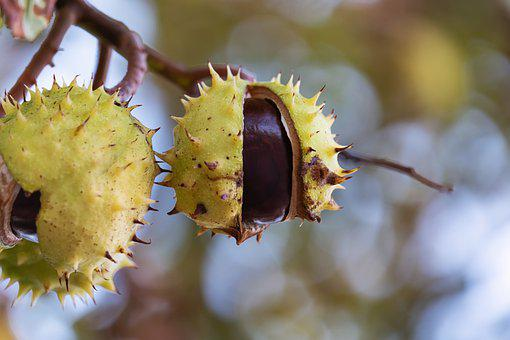 Chestnut, Fruit, Shell, Spur, Tree, Open, Branch