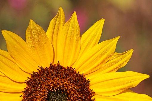 Sunflower, Pollen, Dew Drops, Yellow Flower, Flower