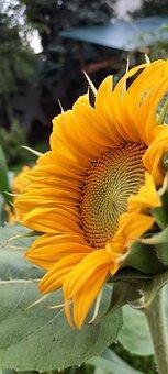 Sunflower, Flower, Yellow Flower, Yellow Petals, Pollen
