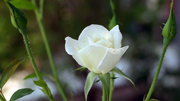 Flower, Rose, Petals, Buds, Thorns, Garden, Flora