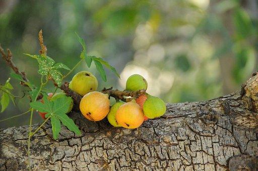 Fruit, Bark, Tree, Leaves, Fig, Texture, Tropical