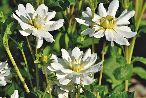 Dahlias, Dahlia Flowers, White Flowers, White Petals