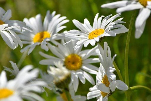 Marguerites, Daisies, White Daisies, White Flowers