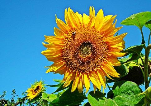 Sunflowers, Yellow Flowers, Flowers, Yellow Petals