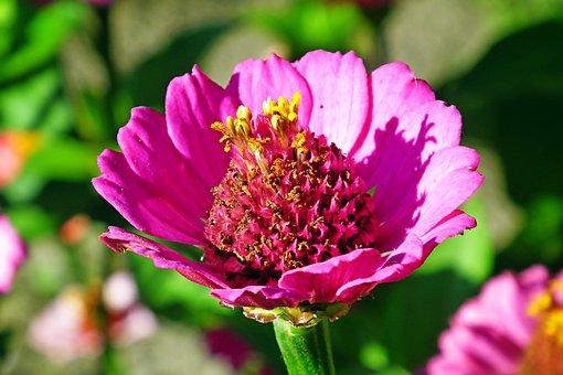 Flower, Zinnia, Petals, Plant, Nature, Garden, Colorful