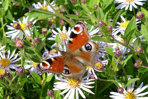 Peacock Butterfly, Aglais Io, Butterfly
