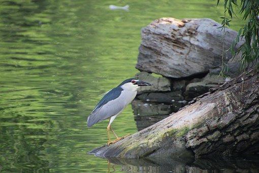 Night Heron, Bird, Animal, Avian