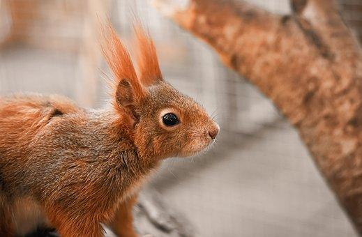Squirrel, Rodent, Nature, Cute, Mammal, Wild, Animal