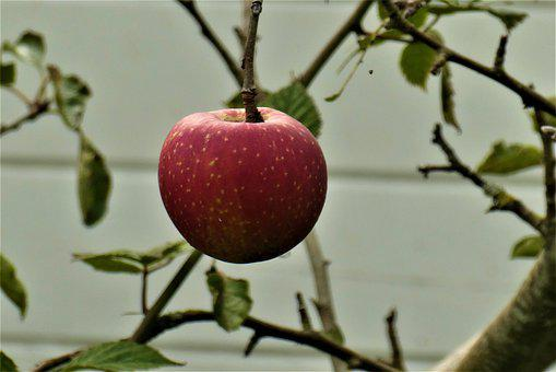 Apple, Red Apple, Fresh Apple, Apple Tree, Fresh Fruit