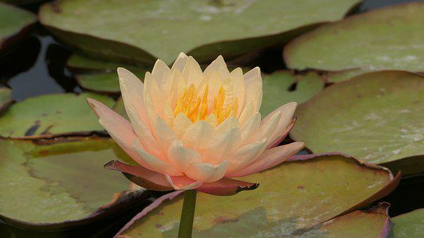 Waterlily, Lotus Flower, Lily Pads, Aquatice Plants
