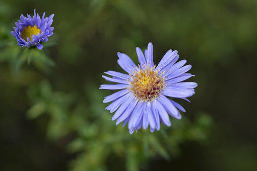 Asters, Flowers, Plant, Petals, Bloom, Blossom