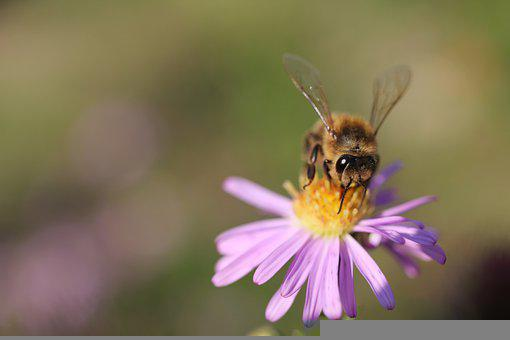 Bee, Pollen, Pollinate, Entomology, Insect