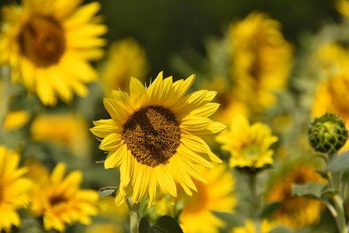 Sunflower Field, Bee, Pollination, Sunflowers