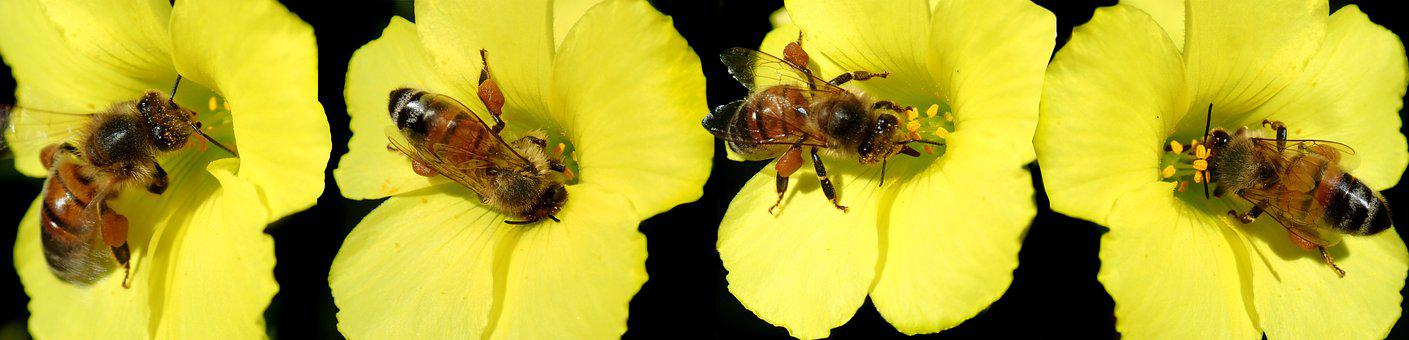 Bees, Pollination, Pollinate, Insects, Entomology