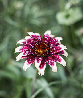 African Daisy, Bicolored Flower, Bicolored Petals