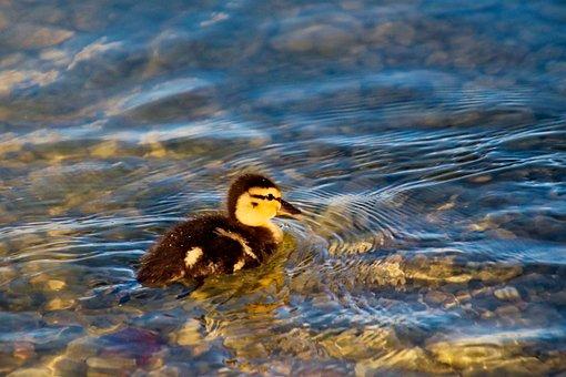 Duck, Bird, Feathers, Plumage, Beal, Bill, Water