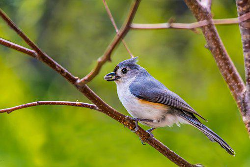 Tufted Titmouse, Perched Bird, Perched, Bird