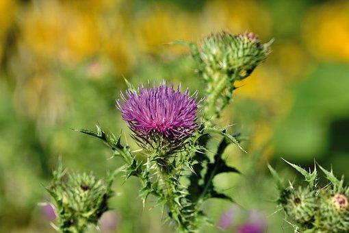 Thistle, Arctium, Blossom, Bloom, Purple Flower