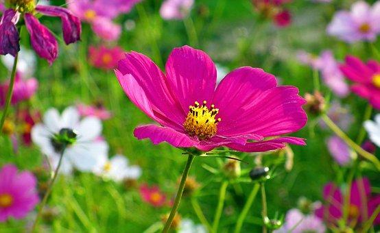 Flowers, Pink Flowers, Blossom, Bloom, Pollen, Meadow