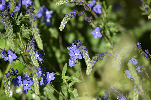 Honorary Award, Inflorescence, Blue Flowers, Blooming