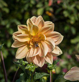 Dahlia, Blossom, Bloom, Bee, Insect, Pollination