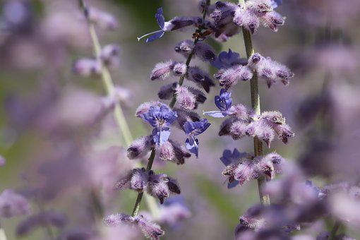 Blue Rhombus, Silver Perowskie, Inflorescence, Flowers