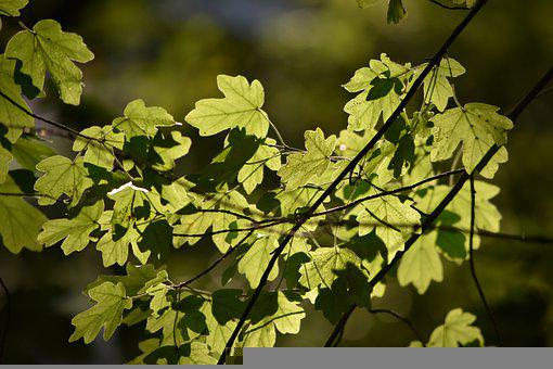 Leaves, Foliage, Tree, Brach, Nature, Forest