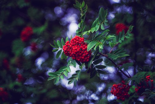 Rowan Berries, Berries, Bush, Plant, Leaves, Nature