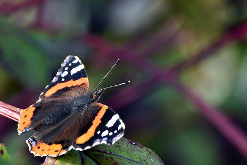 Butterfly, Lepidoptera, Butterfly Wings, Entomology