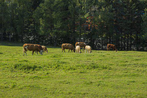 Cows, Cattle, Graze, Pasture, Animal Husbandry