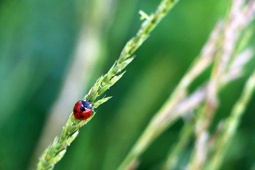 Ladybird, Ladybug, Beetle, Insect, Coccinellidae, Grass