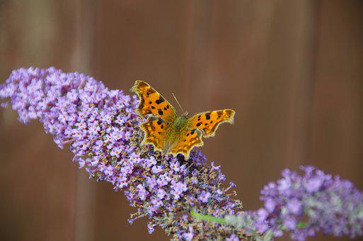Butterfly, Flower, Pollination, Insect, Comma Butterfly