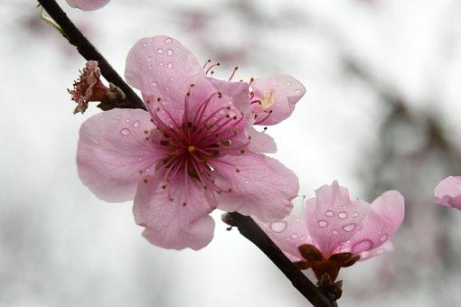Peach Blossom, Dewdrops, Bloom, Blossom, Stigma