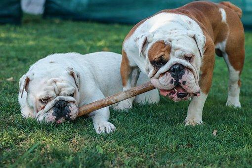 English Bulldogs, Bulldogs, Dogs, British Bulldogs