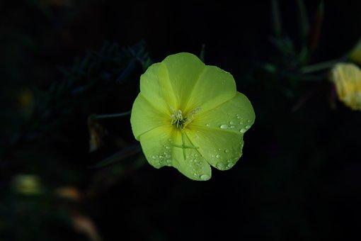 Flower, Petals, Dew, Drops, Rain, Nature, Flora