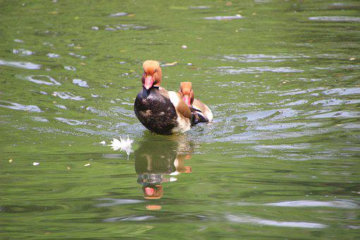 Common Pochard, Pochard, Ducks, Water Birds