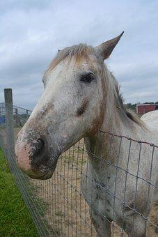 White Horse, Equine, Paddock, Animal, Mammal, Fence