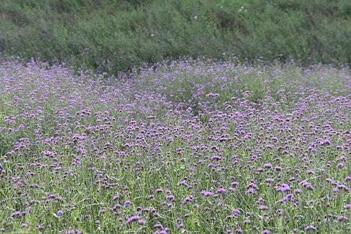Flower Field, Field Of Flowers, Meadow, Small Flowers