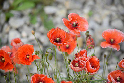 Poppies, Flowers, Red Flowers, Common Poppies