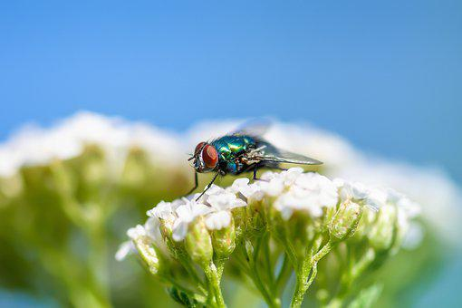Fly, Insect, Bluebottle, Wings, Pest, Pollination