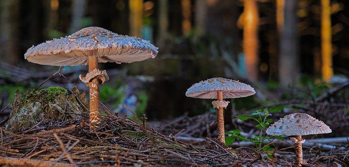 Huge Umbrellas, Herbsr, Schirmlings, Mushrooms, Sponge
