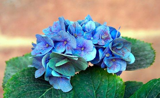 Hydrangea, Blue Hydrangea, Flowers, Blue Flowers, Plant