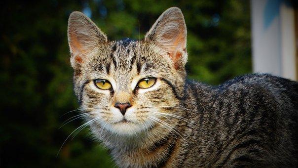 Cat, Kitty, Kitten, Feline, Tabby Cat, Gray Cat