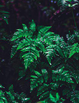 Fern, Leaves, Nature, Plant, Forest, Flora, Rain