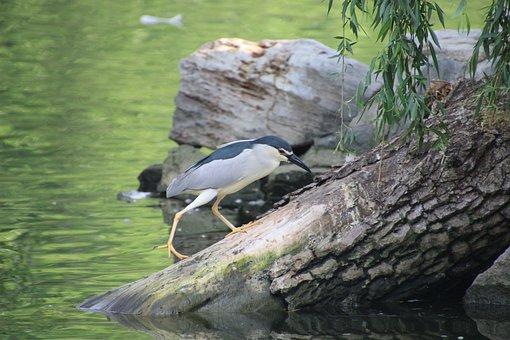 Night Heron, Perched Night Heron, Perched, Bird