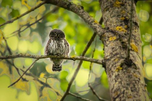 Eurasian Pygmy Owl, Owl Perched On A Branch, Owl